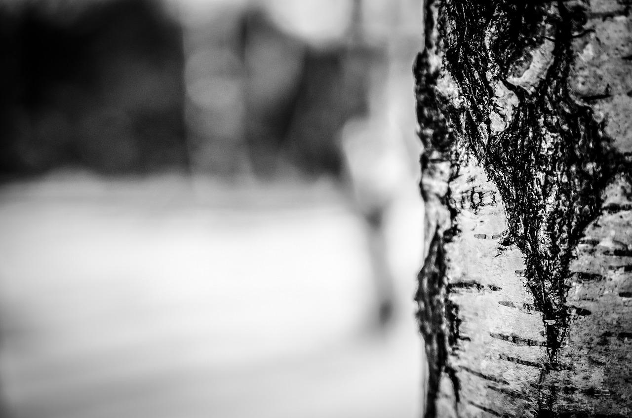 Birkenzucker aus der Rinde der Birke