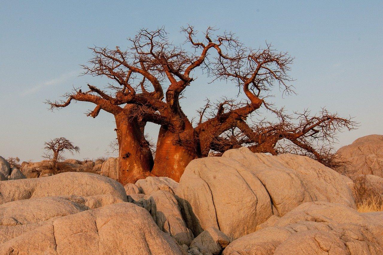 Die Baobab-Frucht (auch Affenbrotbaumfrucht) ist die Frucht von Bäumen der Gattung Adansonia (Affenbrotbäume). Die bekannteste Art ist Adansonia digitata, der Afrikanische Affenbrotbaum, dessen Früchte in Afrika seit langem in diverser Form verarbeitet und als Lebensmittel verwendet werden.